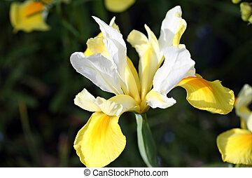Iris flower in garden