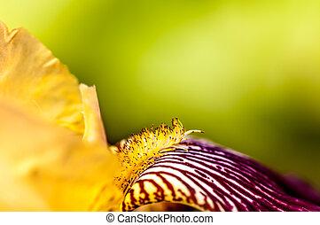 iris flower is yellow macro