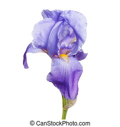 iris flower isolated on white