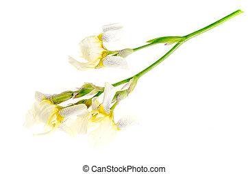 Iris flower light yellow. Studio Photo