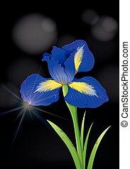 Iris flower on black background