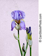 Iris flower on the light background