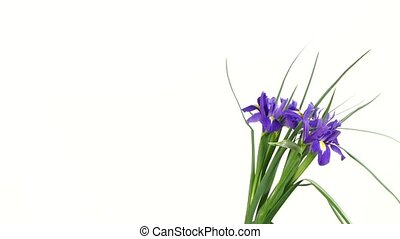 Iris flowers on white, rotation - Iris flowers on white...