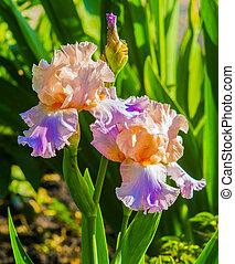 iris flowers. Purple iris in garden, blue and purple colored iris flowers