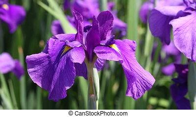 Iris flowers swaying in the wind