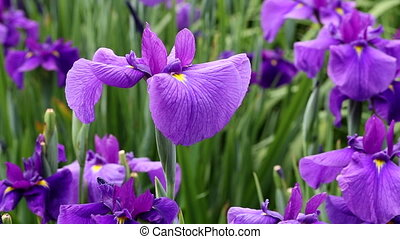 Iris flowers swaying in the wind
