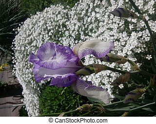 Iris germanica. Closeup of flower bearded iris in garden. A ...