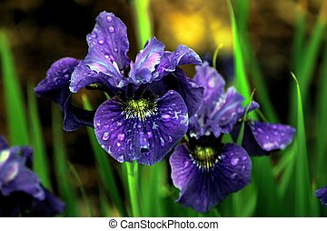 Purple bearded Iris presented in an impressionistic format.