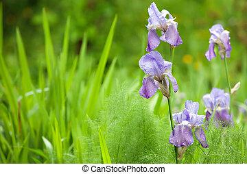 iris in wild garden