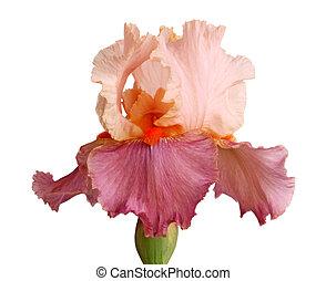 iris, isolering, blomma, pinkish, mauve