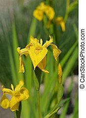 iris, jaune