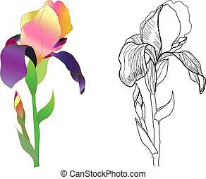 iris, kleurrijke, monochroom
