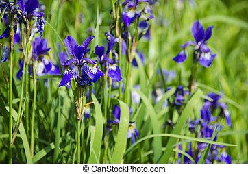 a bunch of iris plants with beautiful yellow purple flowers