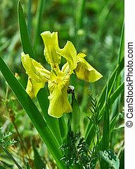 Iris pseudacorus, species of flowering plant of the family Iridaceae
