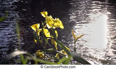 Iris pseudacorus yellow flag against the background of the...