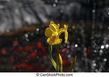 Iris pseudacorus Yellow Flag Iris in the garden.