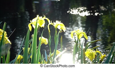 Iris pseudacorus yellow flag, yellow iris, water flag, lever...