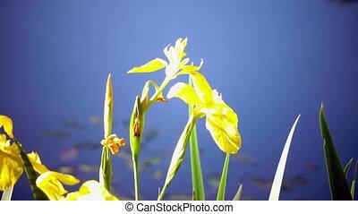 Iris pseudacorus yellow flag, yellow iris, water flag, lever...