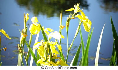 Iris pseudacorus yellow flag, yellow iris, water flag, lever is a species in the genus Iris, of the family Iridaceae