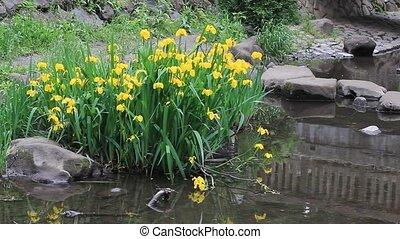 iris pseudoacorus - I took the iris pseudoacorus which...