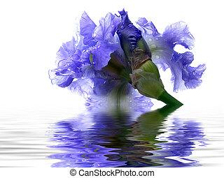 iris, reflet