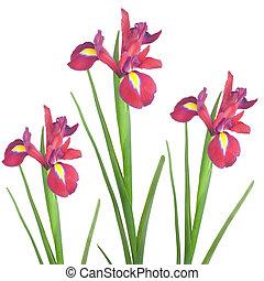 iris, rood