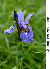 Iris sibirica macro photo