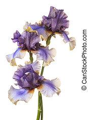 Studio Shot of Multicolored Iris Flowers Isolated on White Background. Large Depth of Field (DOF). Macro. Emblem of France.