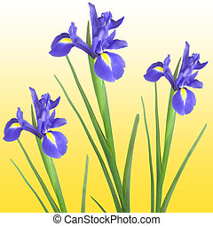 Three blue iris isolated against a golden yellow background.