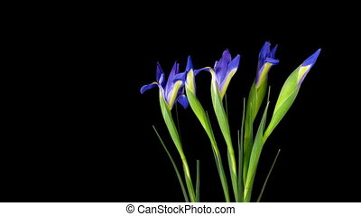 iris, timelapse