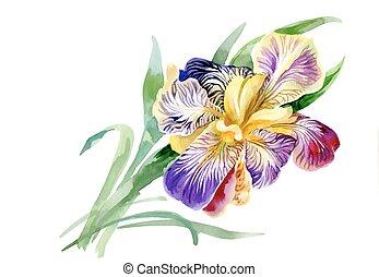 iris, tuin, vrijstaand, watercolor, achtergrond., witte...