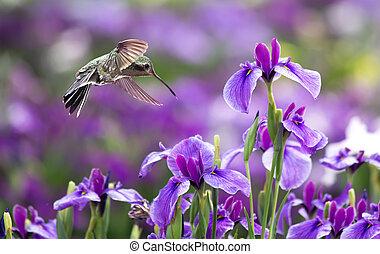 iris, vol, annas, colibri, fleurs, pourpre