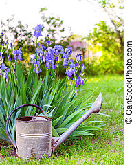 iris with watering can at the garden