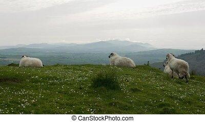 irisch, schafe, bezirk kork, irland, -, eingestuft, version
