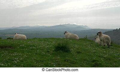 irisch, schafe, bezirk kork, irland, -, gebürtig, version