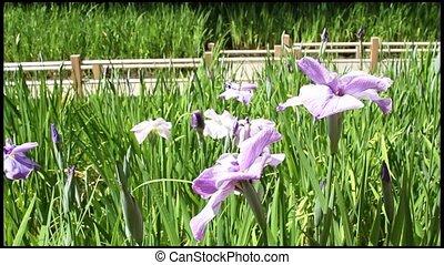 Irises at Japanese Garden - Irises Blooming at Japanese...