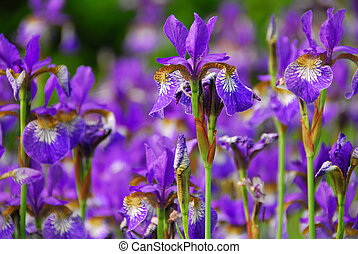 Beautiful purple irises blooming in spring time