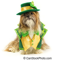Irish Doggy - Dressed in a St. Patrick's Day outfit, a Shih...