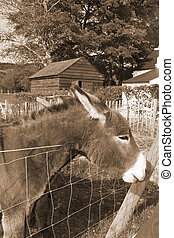 Irish donkey with its head over the fence