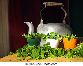 Green shamrocks displayed in a trio of flower pots in the colors of the Irish flag with an antique tea kettle.