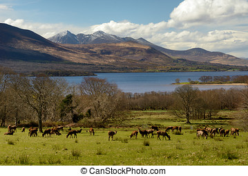 Irish landscape with red deer herd,lake and snowy mountains