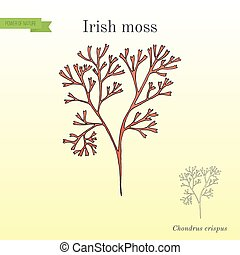 Irish moss Chondrus crispus , red alga. Hand drawn botanical...