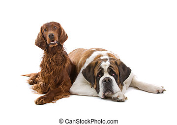 Irish setter and a saint bernard dog isolated on a white...