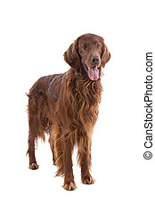 Irish Setter dog isolated on a white background