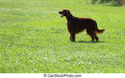 Irish Setter on grass