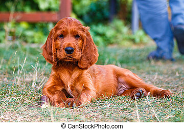 Irish setter - Puppy of irish setter laying with wooden bone