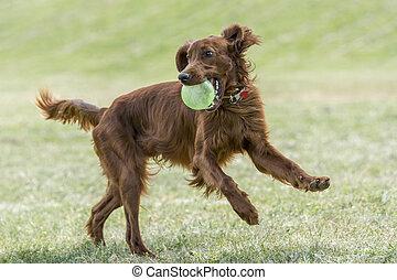 Irish setter runs across the field. Selective focus