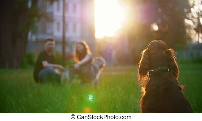 Irish setter sitting on the grass in front of couple who...