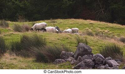 Irish sheep eating grass on a hill