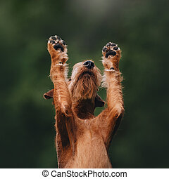 Irish terrier dog raising his paws up